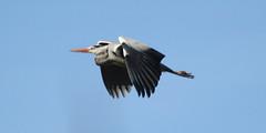 IMG_2147 (markcarne) Tags: british wildlife centre markgeorgecarne markcarnecouk heron bird flight
