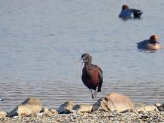 Glossy Ibis (Corine Bliek) Tags: plegadisfalcinellus bird birds vogel vogels rare zeldzaam natuur nature wildlife lake meer water
