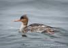 Red-Breasted Merganser, Barnegat Light S.P., NJ (zellerw0) Tags: birding ocean redbreasted bird newjersey merganser duck statepark barnegat