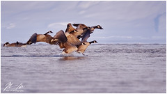 Crowded Landing (Moe Ali Photography) Tags: geese canadagoose flock birds landing migratory water river cold snow alberta bowriver calgary wildlife nature outdoors canon7dii sigma120300f28 14xtele action flapping group moealiphotography wild crouded splash