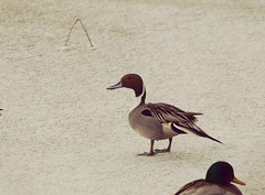 Northern Pintail (marknenadov) Tags: pintails northernpintail ducks birds waterfowl