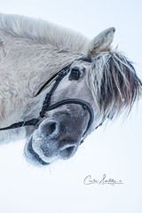Who are you? (CecilieSonstebyPhotography) Tags: norway markiii fjordhorse fjording canon5dmarkiii mule ef100400mmf4556lisiiusm closeup canon horse portrait animal