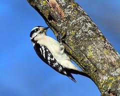 DSC_0015=3DownyF (laurie.mccarty) Tags: downywoodpecker woodpecker macro tree sky wildlife nature bird animal