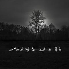 Trumpeter Swans (nlwirth) Tags: nlwirth yup swans blackandwhite trumpeter washington