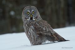 What's up? (Earl Reinink) Tags: bird raptor predator owl hawk winter snow earl reinink earlreinink nature birdphotography greatgrayowl iutaadtdta tree forest eyes