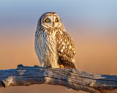 Morning Shorty (Jerry_a) Tags: bird birds birdsofprey raptor owl shortearedowl bombayhook canon600mmf4isusmii canon1dxmarkii