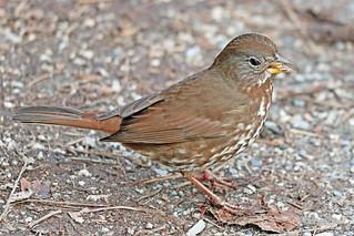 Fox Sparrow 18-0210-2951