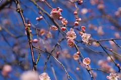 シダレウメ Weeping japanese apricot (takapata) Tags: sony sel90m28g ilce7m2 macro nature flower