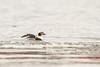 Long-tailed Duck (Clangula hyemalis) Ledinė antis
