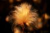 algodón ártico (vitofonte) Tags: eriophorum algodónártico tundra plant planta flor flower groenlandia greenland naturaleza nature natura natureza vitofonte