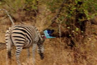 Zimbabwe Cape Buffalo Hunt 79