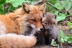 #fox https://t.co/RFESnvJiTE (hellfireassault) Tags: foxes fox httpstcorfesnvjite q foxlovebot january 24 2018 1000am