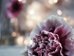 T H E   H E A L I N G (Vivi Black) Tags: nature schönheit season january love atmosphere details macro inside stillleben stilllife life romance romantic wunderschön blume flower