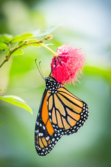 2018-01-30-14h42m59.BL7R9007 (A.J. Haverkamp) Tags: canonef100400mmf4556lisiiusmlens amsterdam zoo dierentuin httpwwwartisnl artis thenetherlands vlinderpaviljoen vlinder butterfly monarchvlinder danausplexippus monarchbutterfly