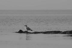 One Gull (mattbpics) Tags: seagull gull canon 70d tamron 150600 150600mm longbeach stratford bw blackandwhite