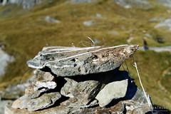 20180129-40-DOC Kea survey traps (Roger T Wong) Tags: doc frenchridge mtaspiringnationalpark np nz nationalpark newzealand sel2470z sony2470 sonya7ii sonyalpha7ii sonyfe2470mmf4zaosscarlzeissvariotessart sonyilce7m2 southisland westmatukitukivalley hike outdoors string tramp traps trek