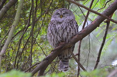 Barred Owl (Neal D) Tags: bc abbotsford bird owl barredowl strixvaria