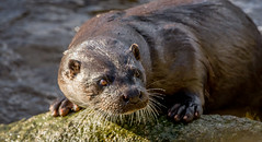 Wild Eurasian Otter 31-Jan-18 G 001 (gomo.images) Tags: 2018 aberdeen aberdeenshire animals country eurasianotter nature scotland years