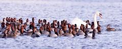 Just Passing Through (swmartz) Tags: ducks february 2018 wildlife waterfowl outdoors redhead swan nikon nature newjersey traffic seashore