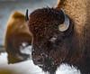 Yellowstone Wildlife (Kim Tashjian) Tags: bison buffalo yellowstonenationalpark wyoming wildlife winter