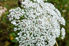 Lace (gabi-h) Tags: queenanneslace wildflowers lace summer gabih summertime insect white whiteflowers ant