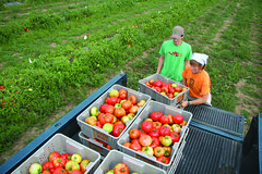 Smart Tomatoes (The NYSIPM Image Gallery) Tags: nysipm ipm integratedpestmanagement tomatoes vegetables bacteria diseases cornell ipmimagegallery