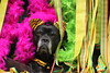 IMG_012331 - Carnival Queen (Monique van Gompel) Tags: zaynah canecorso carnival carnaval carnivalparade feest party carnivalqueen dog dogportrait pet canival2018 tigress mardigras 7dwf colors petparade