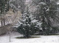 Primi fiocchi di neve dell'inverno.... (Eli.b.) Tags: neve snow fiocchi alberi trees inverno hiver winter neige giardino pini bianco white