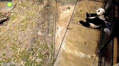 2018_02-10c (gkoo19681) Tags: tiantian dabigguy sohandsome proudpapa fuzzywuzzy treattime sugarcane feetsies nannytricks backrub personalattention beingadorable toocute contentment sohappy precious darling comfy ccncby nationalzoo