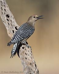 Gila Woodpecker (Matt Shellenberg) Tags: gila woodpecker gilawoodpecker desert arizona southwest matt shellenberg
