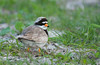 Ringed Plover On The Machair (GS Bird And Nature Photography) Tags: charadriushiaticula locations ringedplover nikond300 birdfamilynames ploversandlapwings june2013 commonbirdnames scientificbirdnames equipmentused beanbag date lochaltaburgsouthuistouterhebrides
