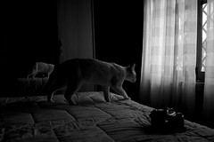 Olaf (FM2 on corner) (pepe amestoy) Tags: blackandwhite indoor cats elcampello spain fujifilm xe1 carl zeiss c biogon 2835 zm t m mount