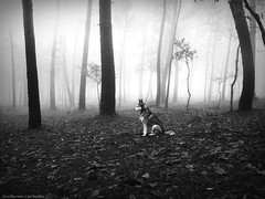 ... (Guillermo Carballa) Tags: dog dogs malu animals bw fog mist forest woods trees pines light morning lx5 carballa
