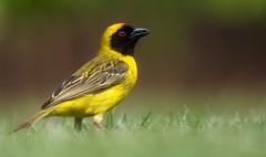 Ploceidae (Coisroux) Tags: birds closeup ploceidae weavers foraging macro wildlife birdphotography nikond d5500 nikond5500 grass 7dwf