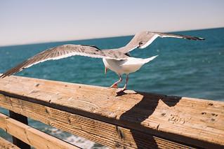 Flying Gulls Raging In The Wind
