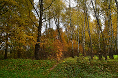 When the grass is still green (МирославСтаменов) Tags: russia kaluga forest glade birch greenery fall autumn