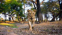 Lioness (Will Burrard-Lucas | Wildlife) Tags: lion luangwa ncs zambia zmb