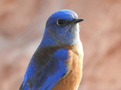 Bluebird, Western Male #2 (beautyinature4me) Tags: bird avian bluebird western veryblue sedona arizona december2016