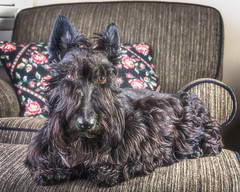 20180226Maggie at Home9197-Edit (Laurie2123) Tags: laurieabbotthartphotography laurieturner laurie2123 maggie maggiemae missmaggie nikkor28300mm nikond800 scottie scottieterrier scottiedog scottishterrier scotty scottydog blackscottie blackdog home livingroom offcameraflash