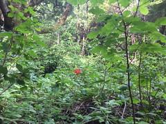 San Vincente Redwoods (shanmariemc7) Tags: sanvincenteredwoods wildflowers santacruz redwoods