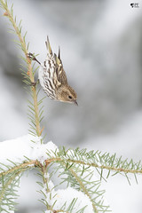 ''Acrobate!'' Tarin des pins-Pine siskin (pascaleforest) Tags: oiseau bird animal passion nikon nature neige snow sapin tree winter hiver wild wildlife québec canada forest forêt