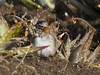 chincol (Rafael Edwards) Tags: chile birding olympus ave chincol bath baño agua shower ducha birdbath pajaro uzielli passaro oiseau acqua banho bain chuva pluie