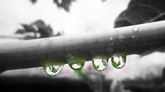 By: Rain Boy (Guilherme Alex) Tags: rain rainyday drops world nature garden afterrain water green reflection digitalcamera i cutout transparent macro small forest contrast life found perspective art amateur walking unique