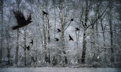 When the crows fly low.... (andredekok) Tags: winter snow crows textures landscape cold birds flying snowflakes forest