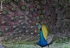 Pavo cristatus - TAVUSKUŞU [TR], Peacock [EN] (Ahmet Karataş - host.nigde.edu.tr/akaratash) Tags: galliformes phasianidae pavocristatus tavuskuşu mavitavuskuşu peacock bluepeacock srilanka seylan ceylon serendib serendip profdrahmetkarataş ahmetkarataş udawalawe udawalawemilliparkı udawalawenationalpark parcudawalawe