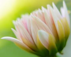 Dahlia -2938 (@nikondxfx (instagram)) Tags: nikkor nikon dslr nityacwcgmailcom photography dahlia flickr flowerphotography flower flowers fullframe flora d750 nikond750 kalimpong darjeeling westbengal westbengaltourism bengal