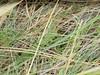 Saga pedo (kahhihou) Tags: taxonomy:kingdom=animalia animalia taxonomy:phylum=arthropoda arthropoda taxonomy:subphylum=hexapoda hexapoda taxonomy:class=insecta insecta taxonomy:subclass=pterygota pterygota taxonomy:order=orthoptera orthoptera taxonomy:suborder=ensifera ensifera taxonomy:infraorder=tettigoniidea tettigoniidea taxonomy:superfamily=tettigonioidea tettigonioidea taxonomy:family=tettigoniidae tettigoniidae taxonomy:subfamily=saginae saginae taxonomy:genus=saga saga taxonomy:species=pedo taxonomy:binomial=sagapedo sagapedo predatorybushcricket spikedmagician grosesägeschrecke taxonomy:common=predatorybushcricket taxonomy:common=spikedmagician taxonomy:common=grosesägeschrecke