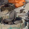 Charming snakes (Pejasar) Tags: reptiles snakes snakecharming india entertainment cobra cobras pets defanged ihope