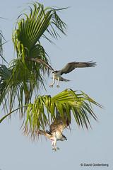 Ospreys squabbling (dgoldenberg52) Tags: florida birds sanibel captiva nature osprey catch prey