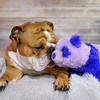 Sven and Panda 1 (charmainesenaphotography) Tags: purple red bokeh pets animals dogs puppies sven backdrop portrait props whiskey king englishbulldog bulldogs englishbulldogs bullies